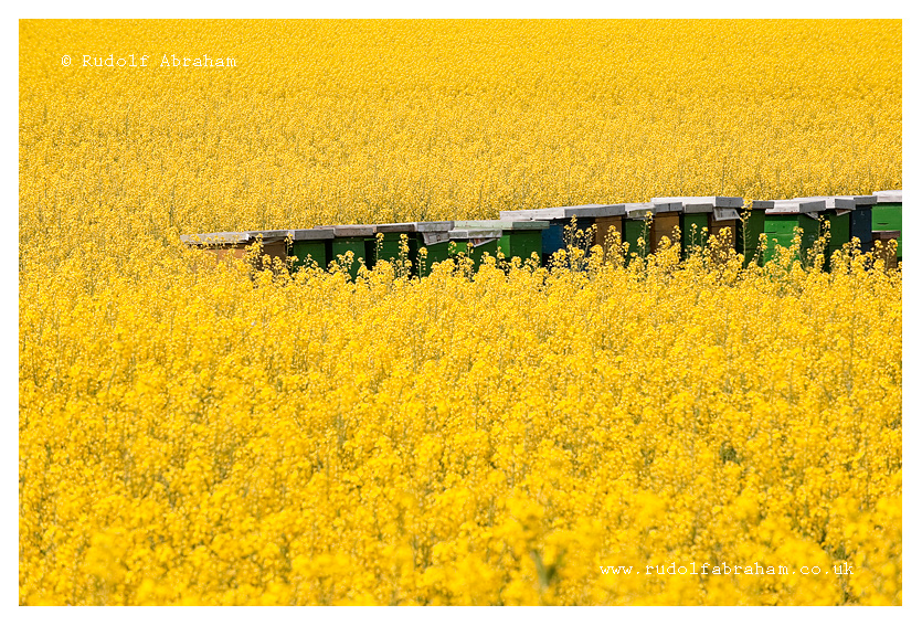 Beehives in a field of rapeseed, Slavonia, Croatia - photo © Rudolf Abraham. All rights reserved.